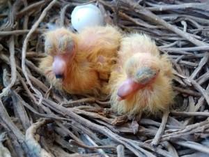 jonge duiven